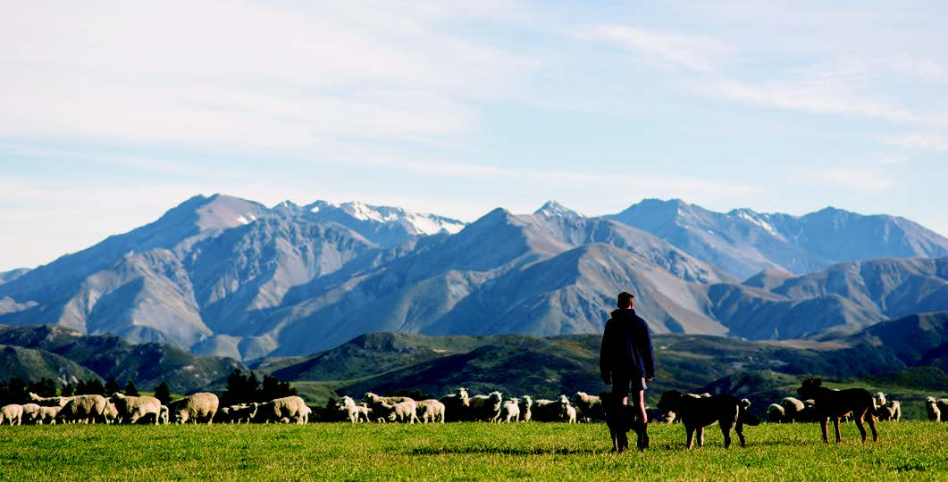 Bert with Wairere bred Kumanu lambs and ewes.