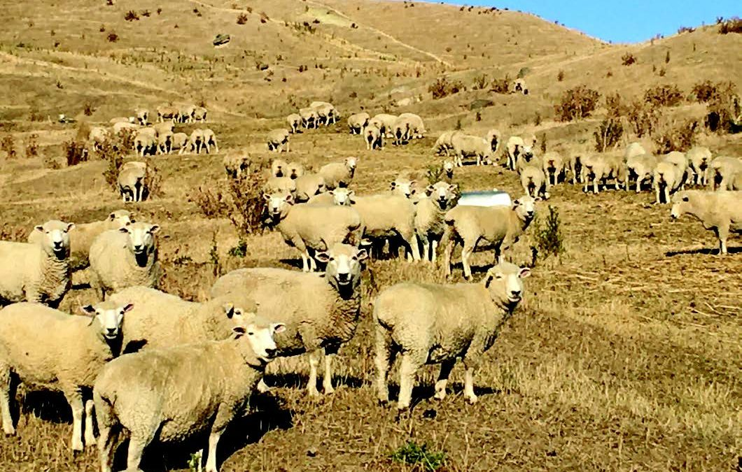 James Bruce, near Martinborough, feeding baleage to Wairere Romney ewes which tailed 162% in 2019. Mid March, 2020. Some areas are still enduring a 100 year drought. Recovery will be a huge challenge.