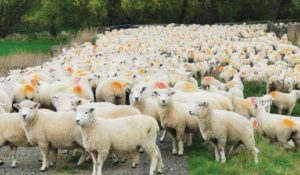 Paul and Dayanne's ewe hoggets scanned 125% this year